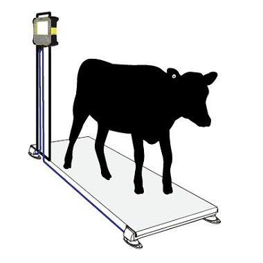 Hệ thống cân (Cân động vật) và giám sát đàn gia súc